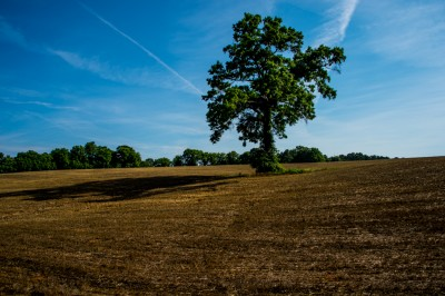 Tree in Field.