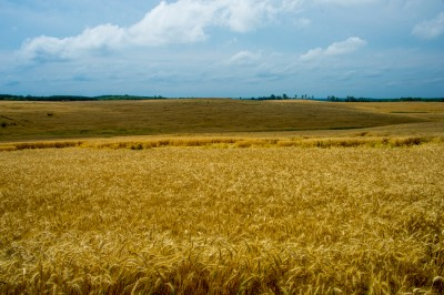 Vast fields of grain near harvest time, Piedmont of North Carolina.