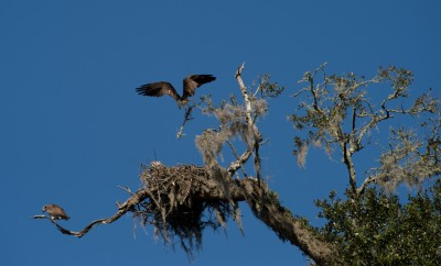 Osprey pair at nest on the grounds of Mepkin Abbey, South Carolina.