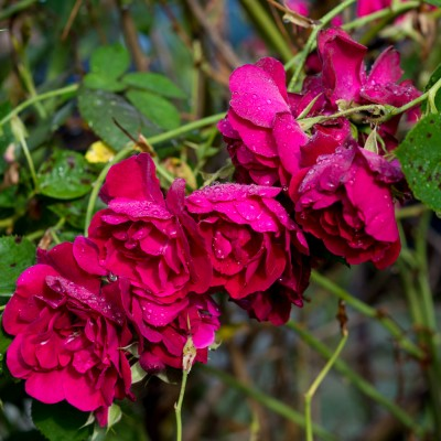 Rain on Roses.