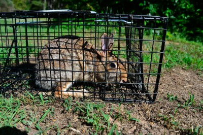 Cottontail Rabbit caught in a live trap.