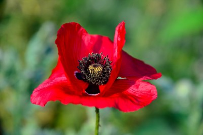 Red domestic Poppy.