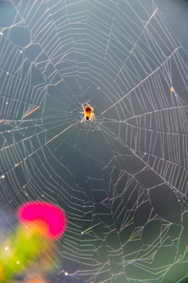 Orb Weaver spider in web.