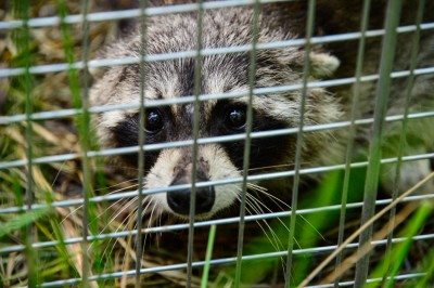 Racoon caught in a live trap.