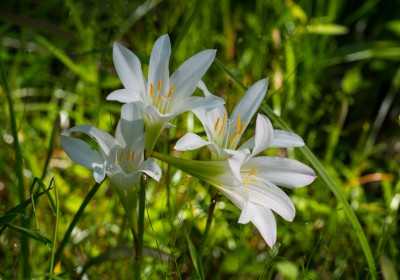 Wild white Lilies in the woods of North Carolina near the Uwharrie mountains.