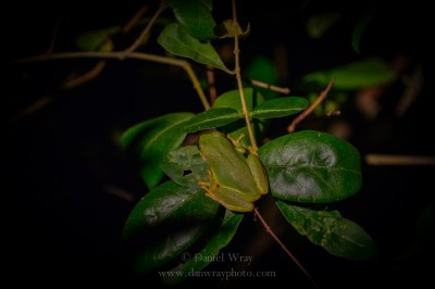 Tree frog on a bush at night.