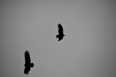 Turkey Vultures in flight.