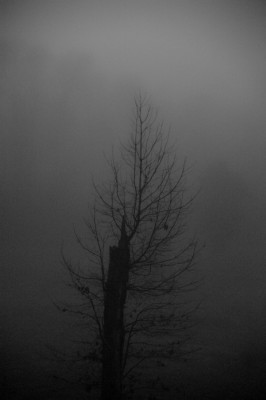 Bare winter trees in fog. A broken Oak tree struggling to live.