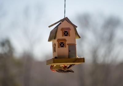 Red-bellied Woodpecker, male at bird feeder, Piedmont of North Carolina.