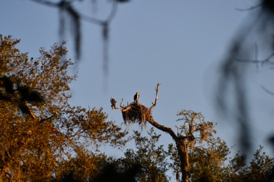 Osprey pair at nest on the grounds of Mepkin Abbey, Spouth Carolina.