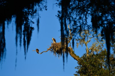 Osprey pair at nest on the grounds of Mepkin Abbey, Spouth Carolina.