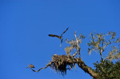 Osprey pair at nest on the grounds of Mepkin Abbey, South Carolina.