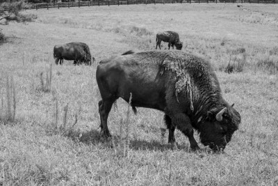 Buffalo in a farm field in Montgomery County, North Carolina.