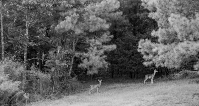 Three Whitetailed Deer.
