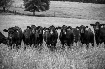 Black Angus cattle in a green field, Piedmont of North Carolina.