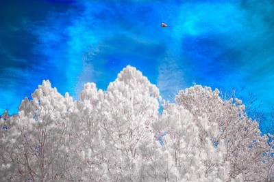 Infrared photo of pine trees and sky, Vulture passing by.