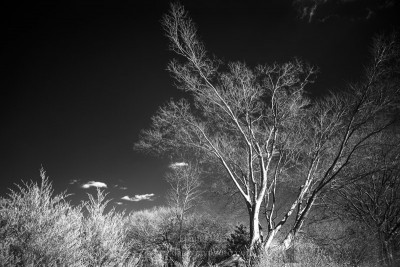 Infrared photo in black and white of forest and sky.