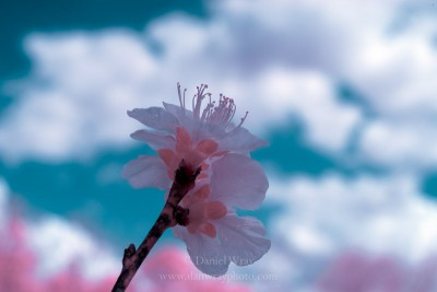 Infrared of an early Spring peach blossom against a fair weather sky.
