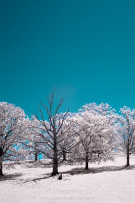 Field and tree photographed with an infrared light sensitive camera.