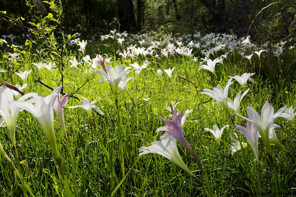 Image result for lilies in wild image