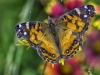 American Painted Lady Butterfly on Indian Paintbrush flowers. Piedmont of North Carolina. Taken with a Zeiss 100mm macro lens on a Sony NEX7.